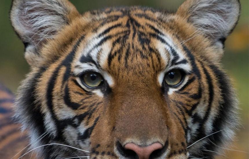 Тигър от САЩ с КОВИД-19, заразил го човек