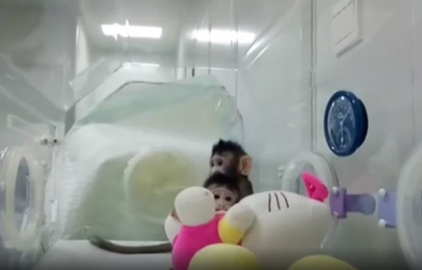 Клонираха маймуна за първи път в света