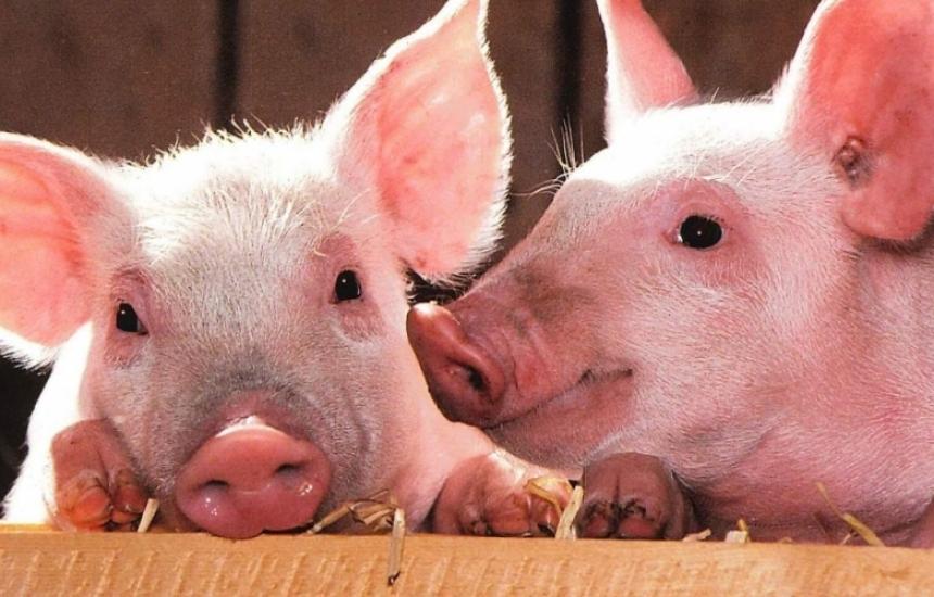 МС се захваща с чумата по свинете