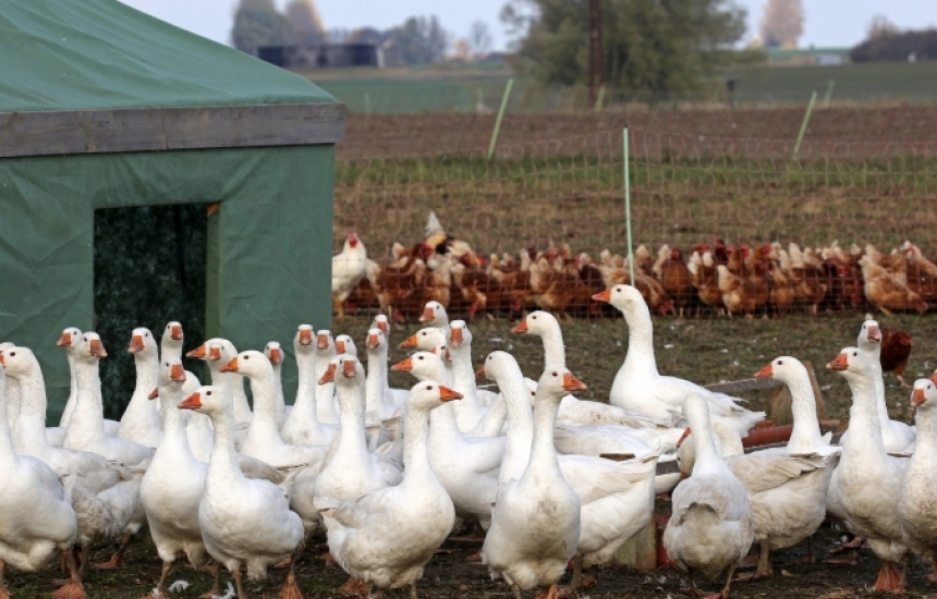 Птичи грип в Ловешко