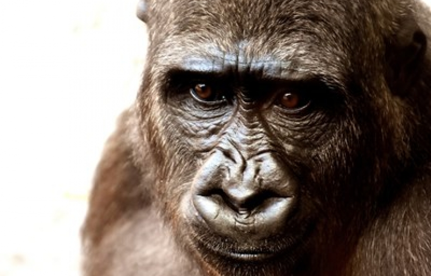 Имплантираха човешки ген в мозъка на маймуна