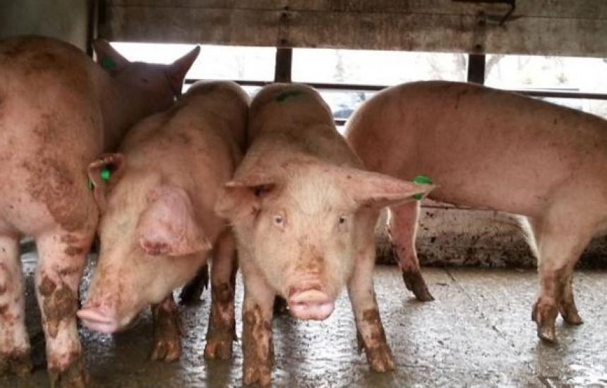 Стигнахме пика на чумата по свинете