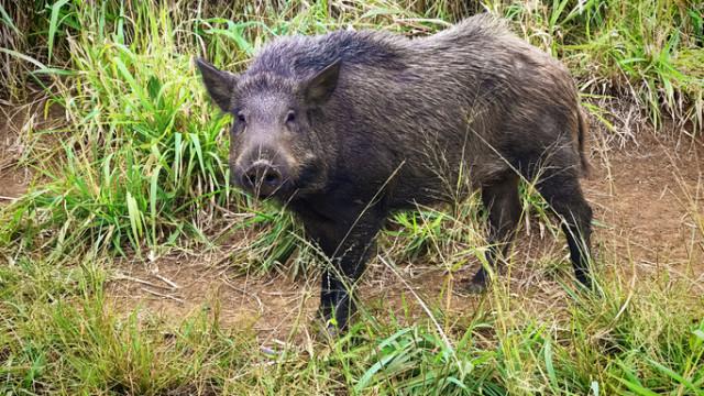 Два нови случая на чума по свинете