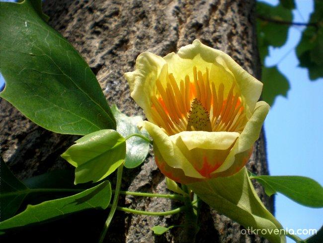 Лирово дърво в памет на донорите