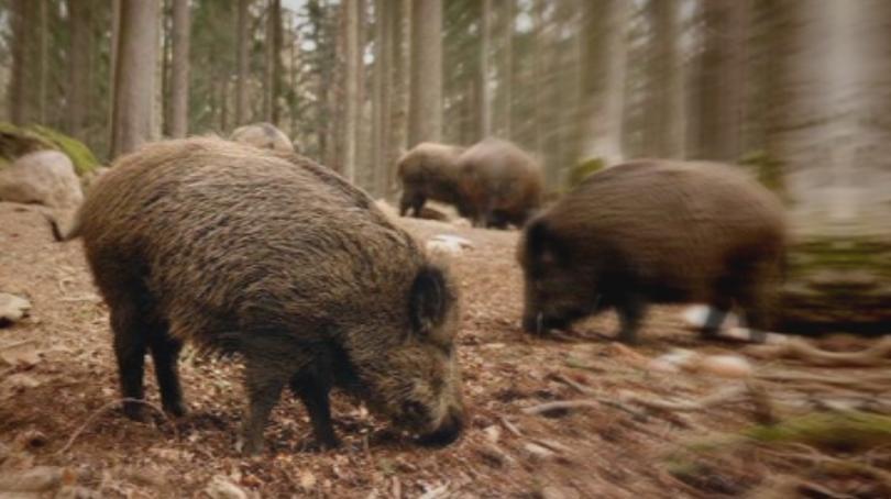 Африканска чума по свинете и в Ловешко